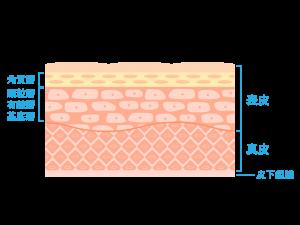 お肌の構造